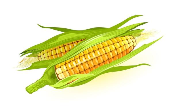 Twee rijpe maïs of maïskolf met gele pitten