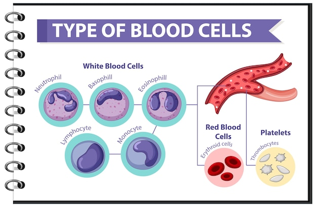 Type bloedcellen medische informatie