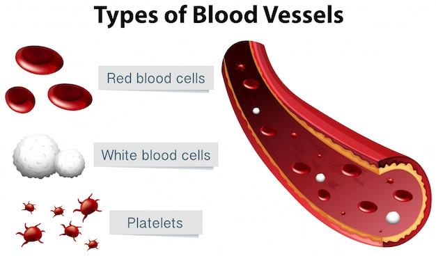 Typen bloedvaten illustratie