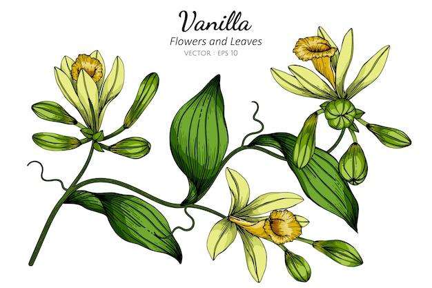 Vanille bloem en blad tekening illustratie met lijntekeningen op wit.