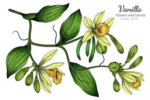 Vanille bloem en blad tekening illustratie met lijntekeningen op witte achtergronden.