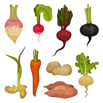 Vectoe set van verschillende wortelgroenten. natuurlijk en gezond product. biologisch voedsel pictogrammen. gecultiveerde planten