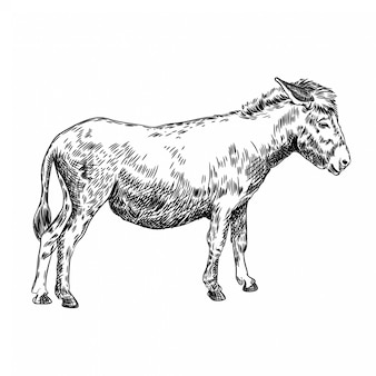 Vector afbeelding van een ezel