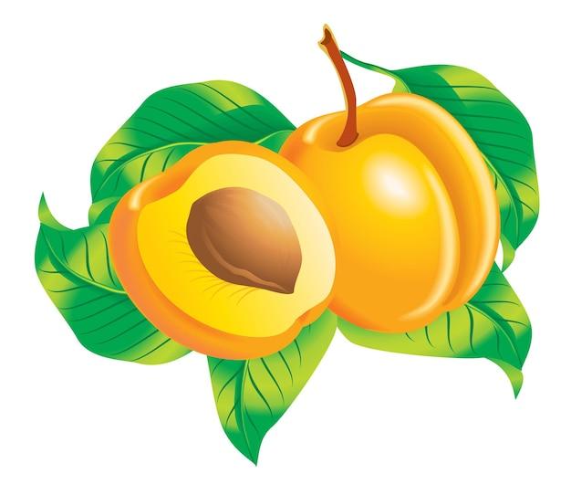 Vector afbeelding van twee abrikozen