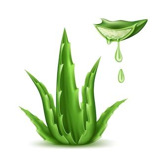 Vector aloë vera realistische plant huidverzorging cosmetica