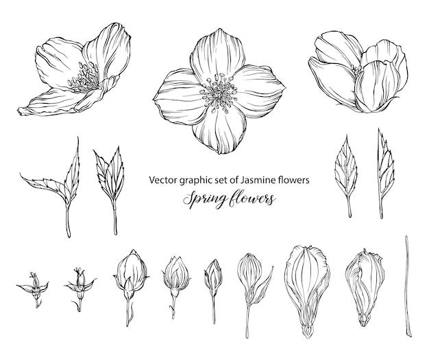 Vector grafische set van jasmijn bloemen lentebloemen