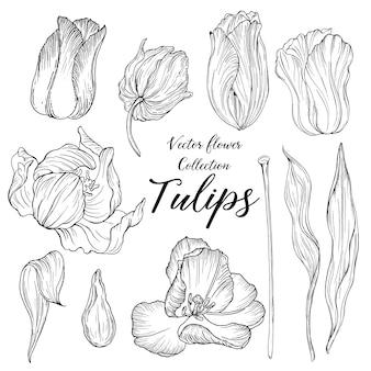 Vector grafische verzameling van bloemen en knoppen tulpen