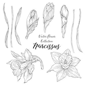 Vector grafische verzameling van narcissus bloemen en knoppen