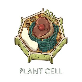 Vector illustraties schetsen. schematische structuur van plantencellen.