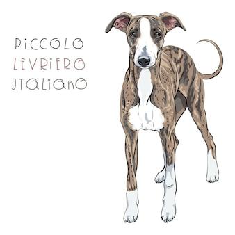Vector italiaanse windhond hondenras