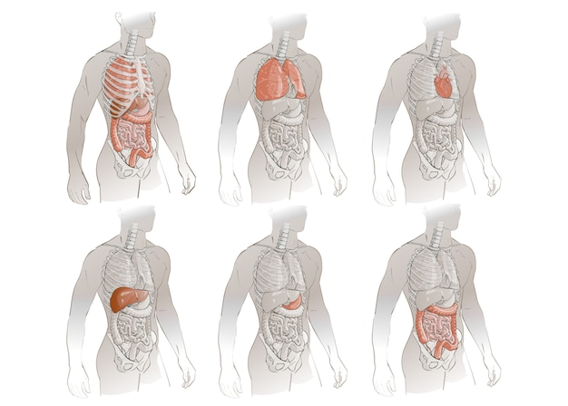 Vector menselijk lichaam anatomie