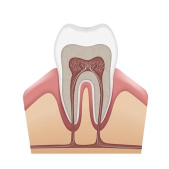 Vector menselijke tand anatomie glazuur, dentine, pulp, tandvlees, bot, cement, wortelkanalen, zenuwen en bloedvaten geïsoleerd op witte achtergrond