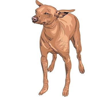 Vector mexicaanse haarloze hond xoloitzcuintle ras