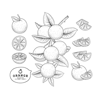Vector schets citrusvruchten decoratieve set. oranje. hand getekende botanische illustraties.