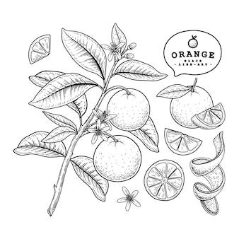Vector schets citrusvruchten decoratieve set. oranje. hand getrokken botanische illustraties. zwart en wit met lijntekeningen op een witte achtergrond. fruit tekeningen. retro stijlelementen.
