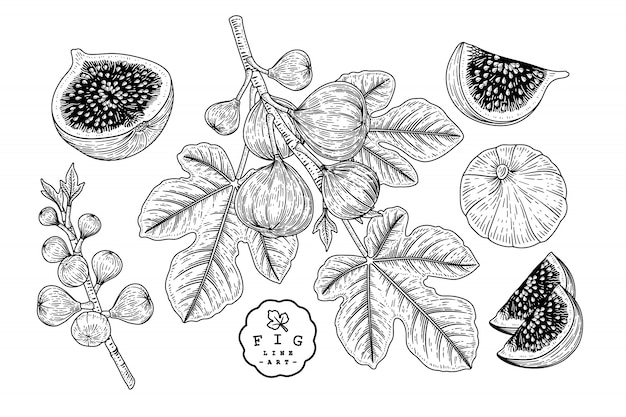 Vector schets fruit decoratieve set. fig. hand getrokken botanische illustraties.