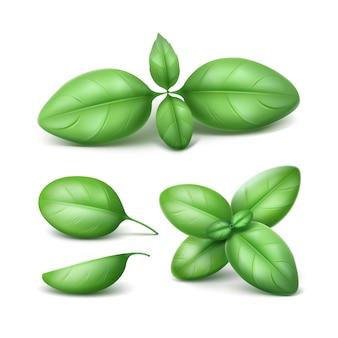 Vector set van groene verse basilicumbladeren op wit
