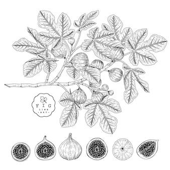 Vector sketch fruit decoratieve set. fig. handgetekende botanische illustraties.