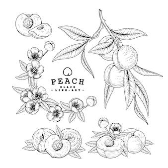 Vector sketch peach decoratieve set. hand getekende botanische illustraties. zwart-wit met lijntekeningen geïsoleerd. fruit tekeningen. retro stijlelementen.
