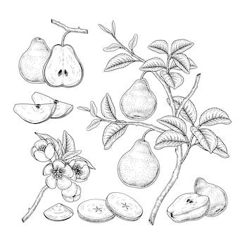 Vector sketch pear decoratieve set. hand getrokken botanische illustraties. zwart en wit met lijntekeningen op een witte achtergrond. fruit tekeningen. retro stijlelementen.