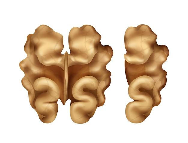 Vector twee hele en halve walnootpitten close-up bovenaanzicht geïsoleerd op een witte achtergrond