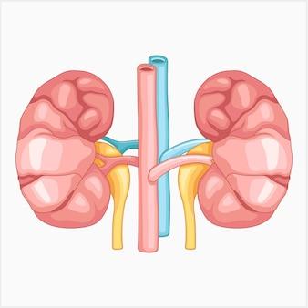 Vectorillustratie van een nier