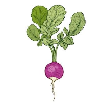 Vectorillustratie van groenten radijs