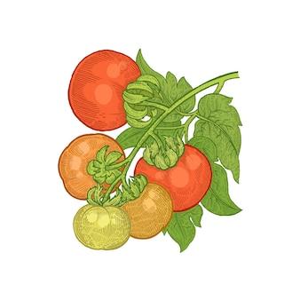 Vectorillustratie van groenten tomaat