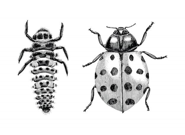 Veelkleurige aziatische lady beetle, larva en volwassen lady beetle hand vintage gravure illustratie puttend uit witte achtergrond