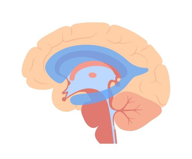 Ventriculaire systeem anatomie. cerebrale ventrikels, cerebrospinale vloeistoffen in de hersenen vector