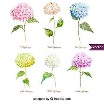 Verscheidenheid van aquarel hortensia bloemen