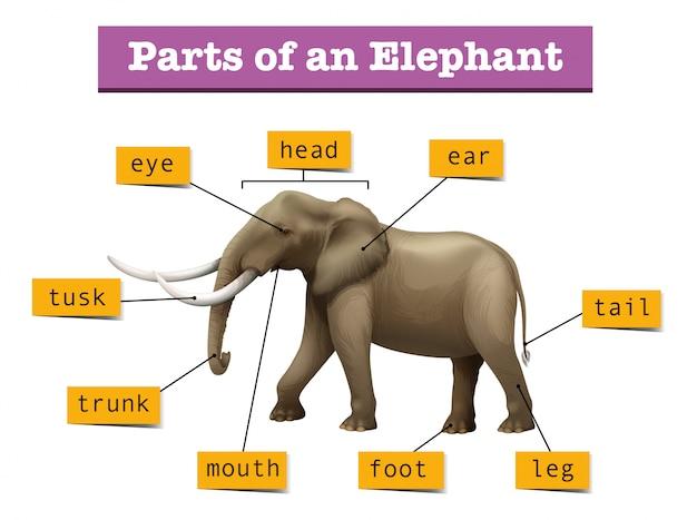 Verschillende delen van de wilde olifant