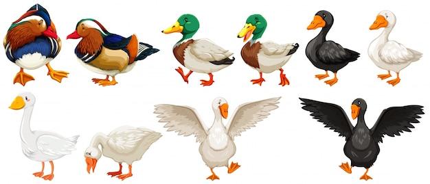 Verschillende soorten eenden en gansillustratie