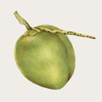 Verse kokosnoot handgetekende vector in kleurpotlood