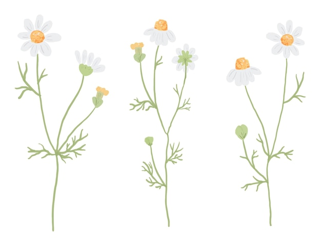 Verzameling van witte kamille bloem geïsoleerd op wit