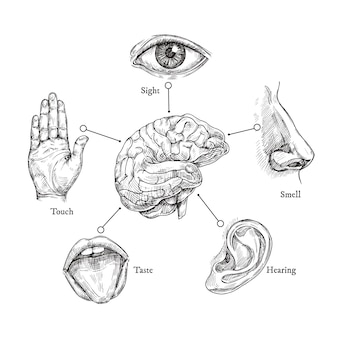 Vijf menselijke zintuigen. schets mond en ogen, neus en oor, hand en hersenen. doodle lichaamsdeel set