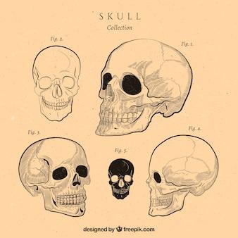 Vintage collectie van schedels