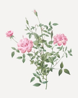 Vintage dwergroze rosebush poster