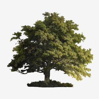 Vintage eikenboom illustratie