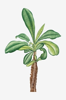 Vintage euphorbia lophogona vector