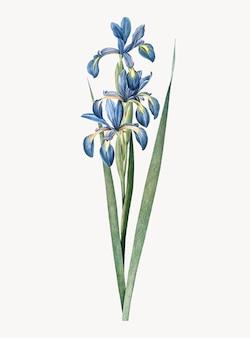 Vintage illustratie van blauwe iris