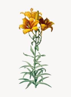 Vintage illustratie van brand lily