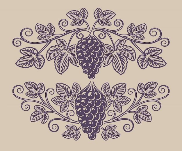 Vintage illustratie van een druiventak op de witte achtergrond.