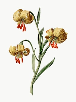 Vintage illustratie van gele lelies