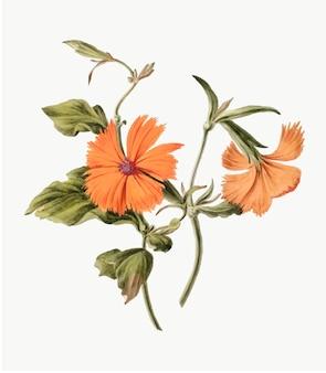 Vintage illustratie van oranje bloem