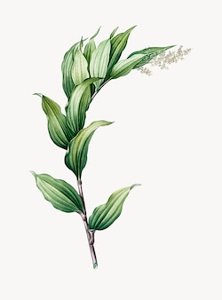Vintage illustratie van treacleberry