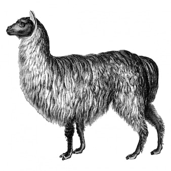 Vintage illustraties van alpaca