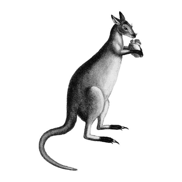 Vintage illustraties van blauwachtig-grijze kangoeroe