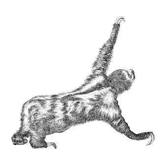 Vintage illustraties van drie toed luiaard