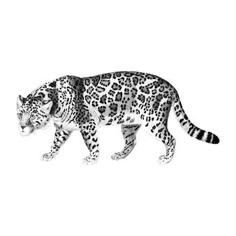 Vintage illustraties van jaguar